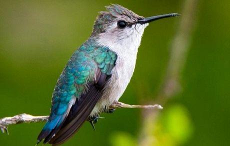 کوچکترین پرنده دنیا که با زنبور شتباه گرفته می شود! +عکس