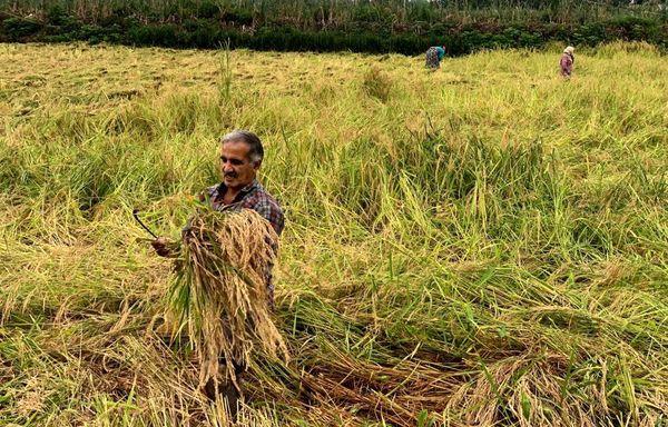 برداشت محصول برنج در شیرگاه مازندران