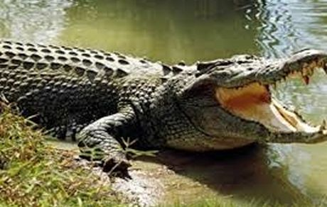 تمساح کودک 8 ساله را زنده زنده بلعید + عکس وحشتناک