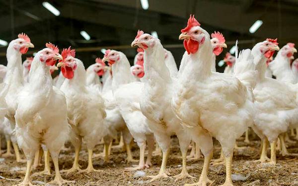 خوراندن تریاک به مرغ ها شایعه یا واقعیت؟!