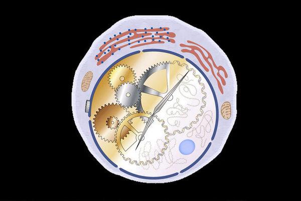 سلولهایی که وظیفه زمانبندی را در روده دارند