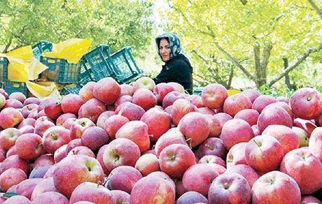 صادرات سیب آزاد میشود + جزئیات