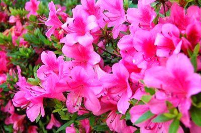 بیماری پوستی گیاهان سمی, مسمومیت گل های سمی