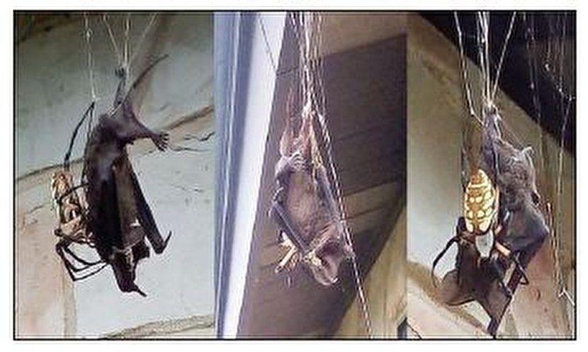 خفاشی که شکار یک عنکبوت شد! +عکس